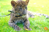 Young leopard on a leash — Stock Photo