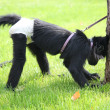 Stock Photo: Monkey tied to tree