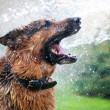Washing the dog — Stock Photo
