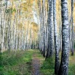 Grove of birch trees with yellow leaves  — Stock Photo
