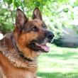 Stock Photo: Germshepard dog