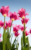 Tulipanes rosa — Foto de Stock