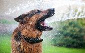 Washing the dog — Stock Photo