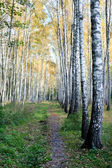 Bosque de abedules con hojas amarillas — Foto de Stock