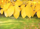 Hojas amarillas en las ramas — Foto de Stock