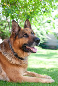German shepard dog — Stock Photo