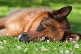 Owczarek niemiecki, leżąc na trawie — Zdjęcie stockowe