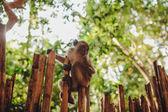 Asian ape — Stock Photo