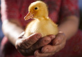 Little yellow duckling in human hands — Stock Photo