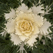 Decorative white Cabbage in Blossom — Stock Photo #13185644