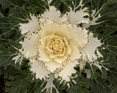 Decorative white Cabbage in Blossom — Stock Photo