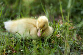 Sweet little duck asleep. — 图库照片