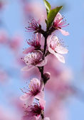 Beautiful flowers of cherry — Stock Photo