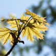Green maple leaves in spring — Stock Photo #21288621
