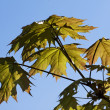 Green maple leaves in the spring — Stock Photo