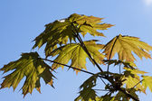 Green maple leaves in the spring — Photo