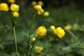Double buttercup: beatiful wild yellow flowers against the green — Photo