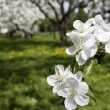Blossom apple tree — Stock Photo #21290609