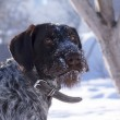 German wire-haired pointer in hte snow — Stock Photo #21290841