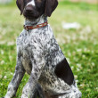 Hunting Dog — Stock Photo