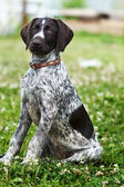 Hunting Dog — Foto de Stock