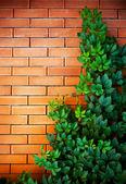 Czerwony mur z cegły i dzikich winogron wiszące na nim — Zdjęcie stockowe