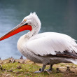 White pelican — Stock Photo #22422723