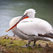 White pelican — Stock Photo #22422745