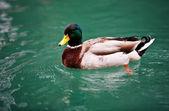 Mallard duck on the lake — Stock Photo