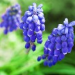 "Springs flowers "" Muscari"" — Stock Photo"