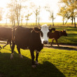 Cows on a summer pasture  — Stock Photo #34084157