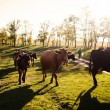 Cows on a summer pasture — Stock Photo #34086999