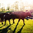 Stock Photo: Cows on a summer pasture