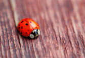 Ladybird on brown wood macro — Foto de Stock
