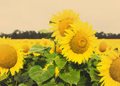 Sunflower field, tinted photo — Stock Photo