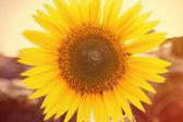 Sunflower close up, tinted photo — Stock Photo