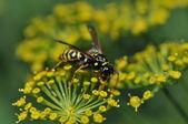 Avispa de flores amarillas — Foto de Stock