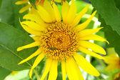 Girassol amarelo — Foto Stock