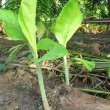 Banana tree — Stock Photo