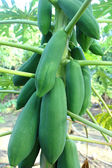 Papaya on the tree — Stock Photo