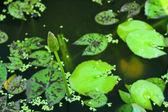 Nenufar niebieski — Zdjęcie stockowe