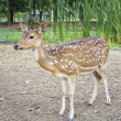 whitetail deer — Stock Photo