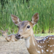 Foto Stock: Whitetail deer