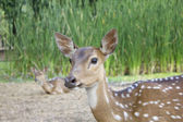 Cervo whitetail — Foto Stock