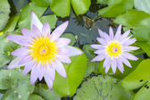 Groene lotus — Stockfoto