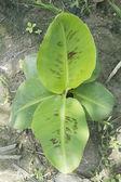 Banana tree — Stockfoto