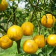Orange fruit — Stock Photo #20044203