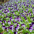 Field of pansy flowers — Stock Photo
