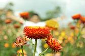 Straw flower or everlasting — Stock Photo