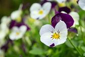 Pole kwiatów bratek — Zdjęcie stockowe